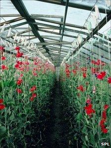 Pea plants in a greenhouse