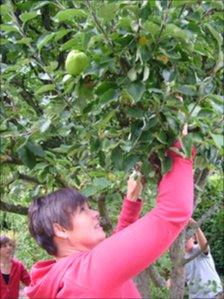 Picking apples from a tree