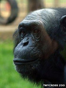 Louis, a former PG Tips chimp