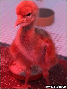 Crane chick (Image: WWT/Sacha Dench)