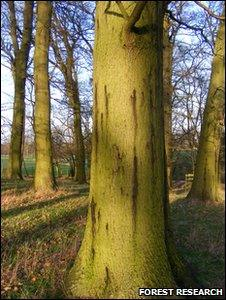 Oak infected with AOD (Image: Forest Research)