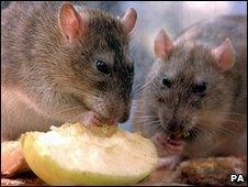 Brown rats (Image: PA)