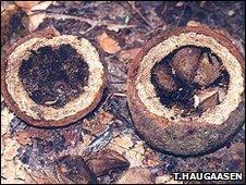 Brazil nut tree fruit and seeds (Image: Torbjorn Haugaasen)