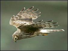 Hen harrier. Image: Andy Hay/RSPB