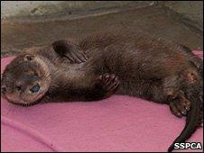 Fyne, the otter. Image: SSPCA
