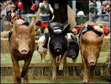 Racing pigs at Surrey County Show