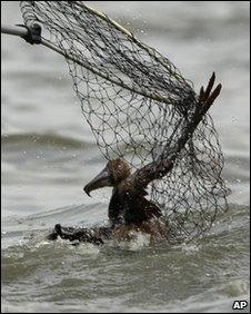 An oiled Brown pelican is rescued from Barataria Bay off the coast of Louisiana