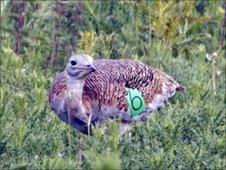 Female great bustard on Salisbury Plain, Wiltshire