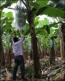 A Russian businessman inspects the quality of the bananas on the farm.
