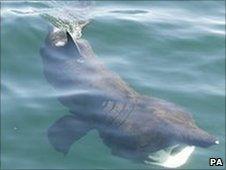 Basking shark seen off the west coast of Scotland