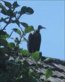 Vulture spotted in Bridgend