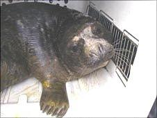 The rescued seal