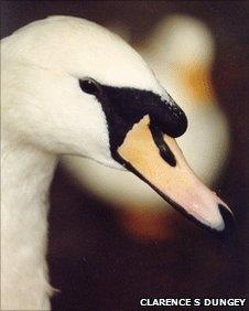 Royal Swan in Ottawa