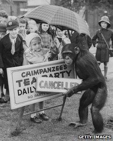 Chimps' tea party