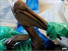 Oil covered pelican found off the Louisiana coast, 9 June
