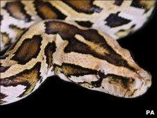 Burmese python (file photo)