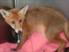 Fox a day after being rescued