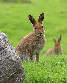 Irish Hare - pic Belast Hills Partnership