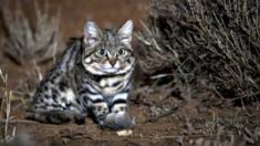 أخطر قطة في العالم
