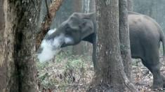 أثار مقطع فيديو لفيل بري في الهند يخرج الدخان من خرطومه حيرة خبراء الحياة البرية في جميع أنحاء العالم.
