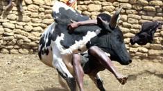 رجل من مدغشقر يصارع ثور