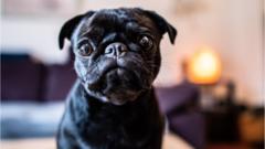 pug-breed-of-dog