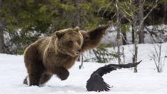 A bear tries to catch a bird
