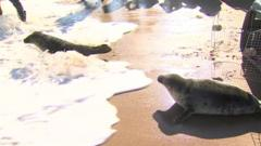 seal twins released into the sea