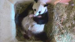 Panda mum Yang Yang with twins