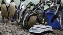 Penguins getting weighed