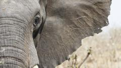 Close up image of face of an African elephant