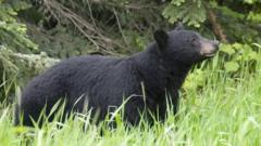 Black bears, like this one, rarely attack humans