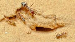 Saharan-silver-ant