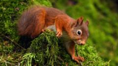 Red-squirrel.
