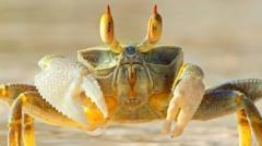 Ghost-crab-on-a-beach.