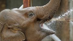 elephant drinks water