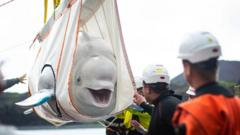 Beluga whale.