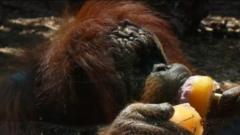 An orang-utan eating an ice lolly