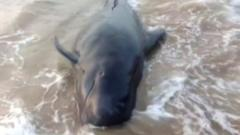 The short-finned pilot whale beached on an Indian beach.