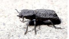 diabolical-ironclad-beetle