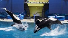 Trainers work with Orca killer whales during a show at the animal theme park SeaWorld in San Diego, California (19 March 2014)
