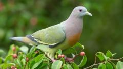 pink-necked-green-pigeon.