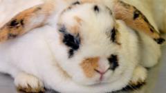 Grace is a heavyweight rabbit