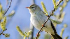 Willow warbler in a tree