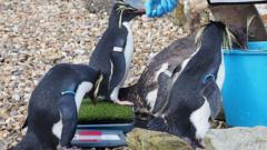 Northern-rockhopper-penguins-get-weighed.