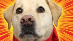 Stumpy-the-white-Labrador-blood-donor-dog.