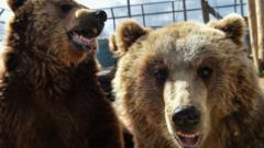 Brown bears are seen in a French animal shelter for mistreated animals