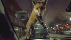 Fox-on-bonnet.