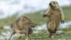 standoff-tibetan-fox-marmot.