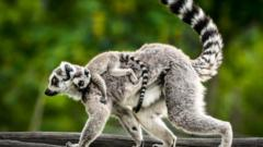 A lemur carrying its young